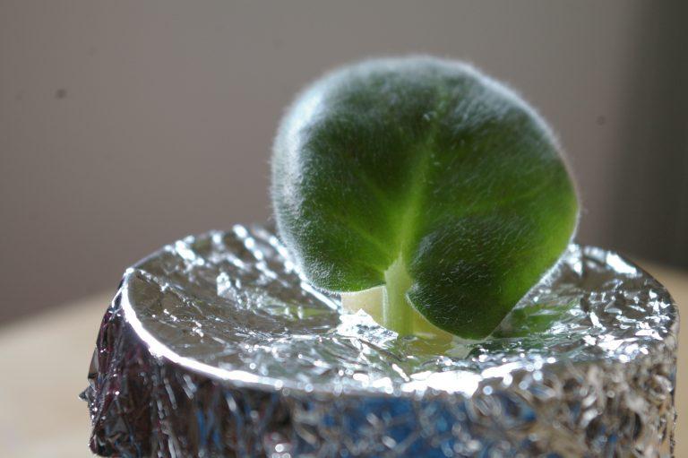 Укоренение черенка в воде