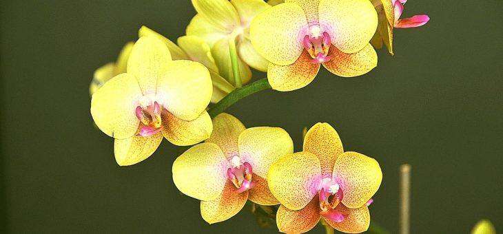 Способы размножения орхидеи