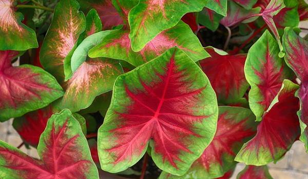 Как вырастить каладиум — растение с необычными листьями